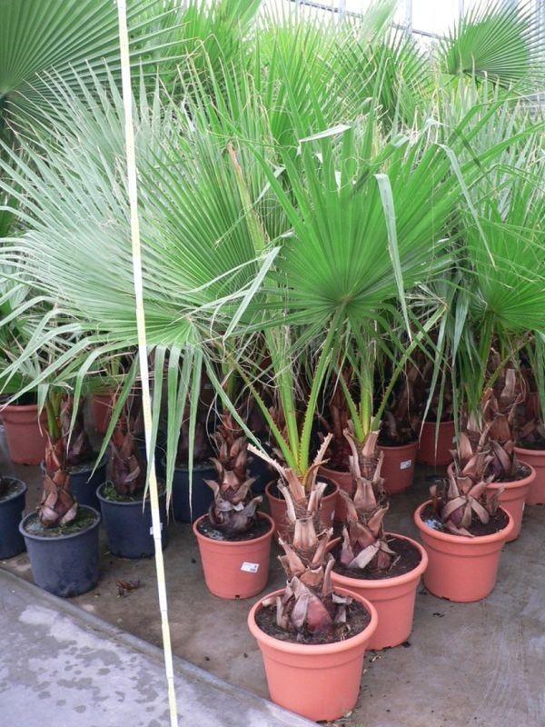 Пальма вашингтония в домашних условиях выращивание из семян 67